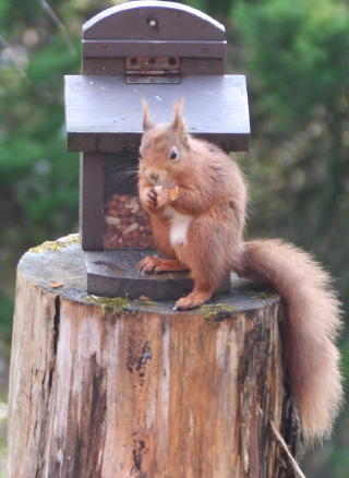 Red squirrel pitlochry - breakfast at Torrdarach