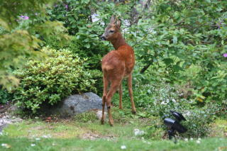 Roe buck outside the dining room - Torrdarach House, Pitlochry Bed and Breakfast